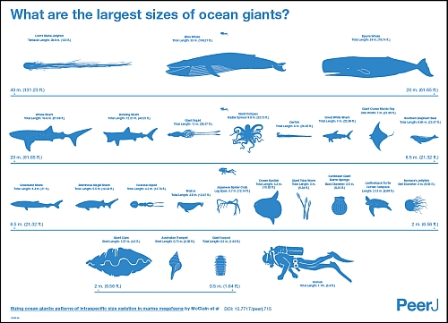 Sizing ocean giants: patterns of intraspecific size variation in marine megafauna by McClain et al (CC BY 4.0)